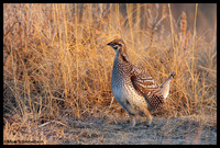 Sharptail Grouse(male)