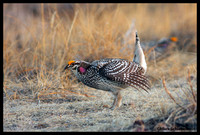 Sharptail Grouse
